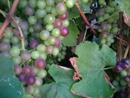 Grapes on the vine-e